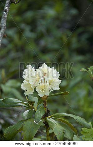 Cunninghams White Rhododendron, Rhododendron Caucasicum, Rhododendron Ponticum Var.