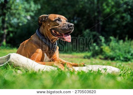 Ridgeback Dog Lying On The Lawn And Sticks Out Its Tongue. Happy Dog Concept. Dog Enjoyig The Sun Ou