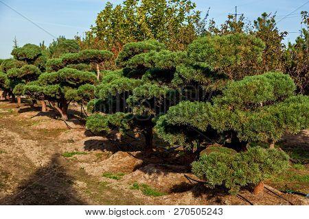 Seedlings Of Various Trees In Pots In A Garden Shop. Sale Of Many Varieties Of Coniferous And Decidu