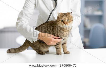 Veterinarian cat hospital checkup