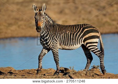 A Cape mountain zebra (Equus zebra) at a waterhole, Mountain Zebra National Park, South Africa