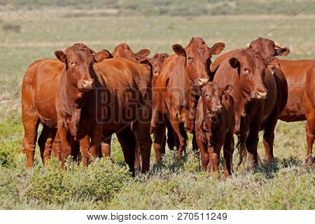 Small herd of free-range cattle on a rural farm, South Africa