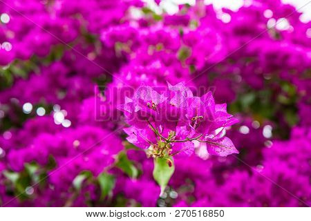 Bougainvillea plant blooming in a close up poster
