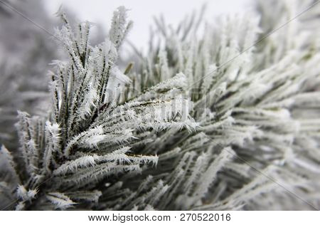 branches of fir tree strewn lightly with snowflakes in January