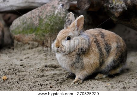 Full Body Of Multicolor Domestic Pygmy Rabbit. Photography Of Nature And Wildlife.