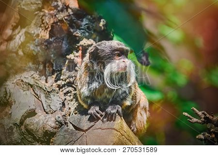 Emperor Tamarin (saguinus Imperator) On The Log