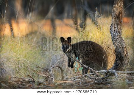Swamp Wallaby - Wallabia bicolor small macropod marsupial of eastern Australia. Known as the black wallaby, black-tailed wallaby, fern wallaby, black pademelon, stinker and black stinker. poster