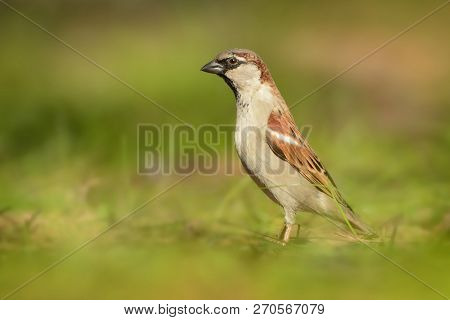 House Sparrow - Passer Domesticus  Bird Of The Sparrow Family Passeridae, Found In Most Parts Of The