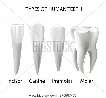 Types Teeth Realistic Vector Photo Free Trial Bigstock