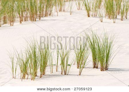 Ammophila arenaria species on dune atlantic coastline