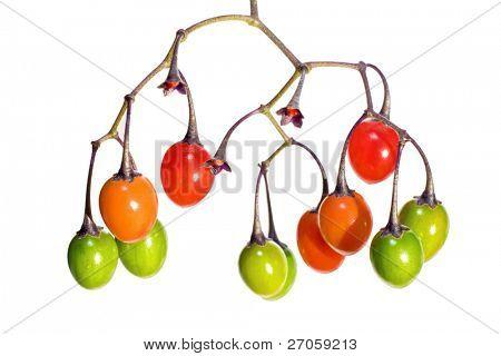 poisonous Solanum dulcamara fruits, like little tomatoes, shooted on white