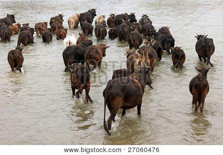 buffalo herd crossing river in Chitwan national park, Nepal