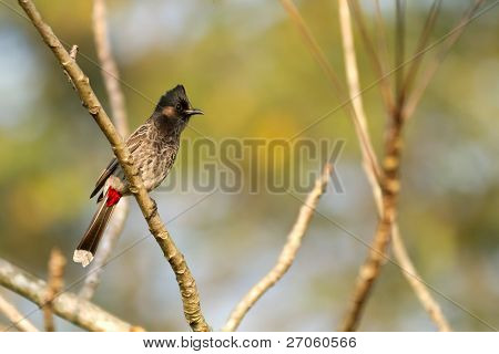 Red whiskered Bulbul bird on branch, chitwan national park, nepal