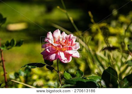 Photo Of A Beautiful Wild Pink Rose.