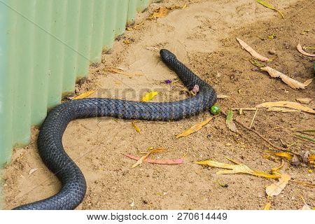 Tasmanian tiger snake moving near garden shed poster