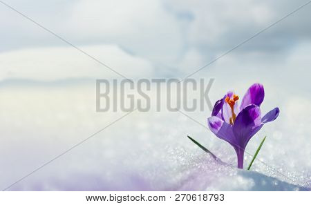 Amazing Spring Flower Crocus In Mountains In Snow. View Of Magic Blooming Spring Flowers Crocus Grow