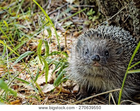 To Meet Face To Face With A Hedgehog In The Forest. European Hedgehog (erinaceus Europaeus), Also Kn