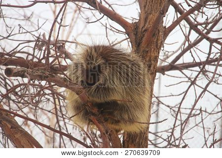 A Porcupine Perched In A Tree Against A Gray Sky.