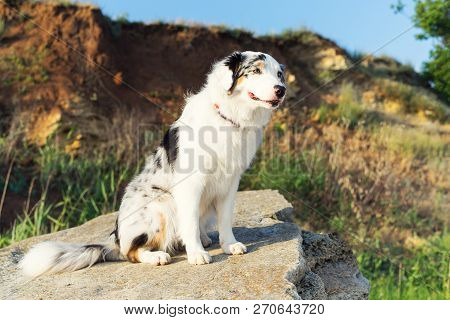 Happy Australian Shepherd Aussie Dog Sitting On A Large Rock On A Background Of Mountains And Blue S