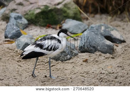 Full Body Of Pied Avocet (recurvirostra Avosetta) Black And White Waterbird. Photography Of Nature A