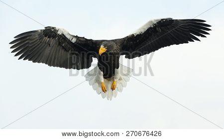 Adult Steller's Sea Eagle In Flight.  Scientific Name: Haliaeetus Pelagicus. Blue Sky Background.