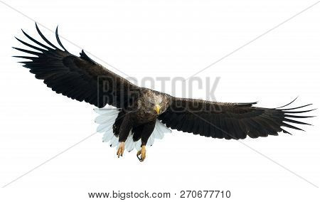 Adult White-tailed Eagle In Flight. Front View. Isolated On White Background. Scientific Name: Halia