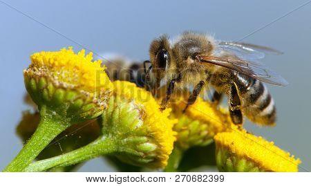 Detail Of Bee Or Honeybee In Latin Apis Mellifera, European Or Western Honey Bee Pollinated Of Yello