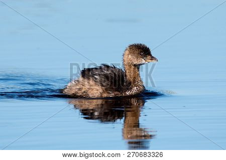 A Pie-billed Grebe Swimming On A Lake
