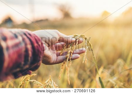 Smart Farming And Organic Agriculture Woman Studying The Development Of Rice Varieties In Rice Field