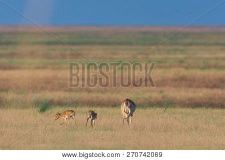 Saiga Tatarica Is Listed In The Red Book, Chyornye Zemli (black Lands) Nature Reserve, Kalmykia Regi