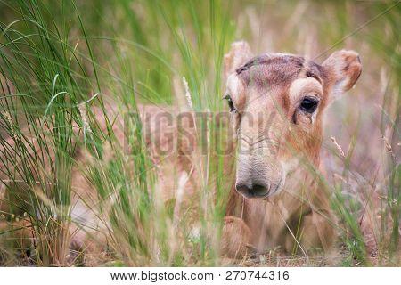 Kid Saiga Tatarica Is Listed In The Red Book, Chyornye Zemli (black Lands) Nature Reserve, Kalmykia
