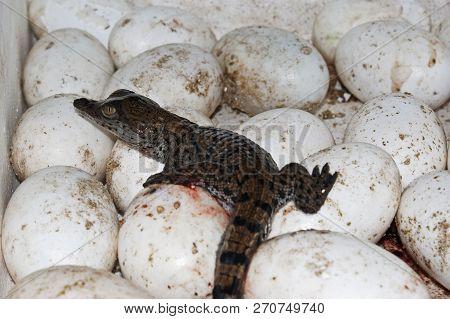 A Hatchling Crocodile Resting On Unhatched Eggs At A Crocodile Farm