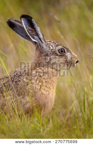 Portrait of European Hare (Lepus europeaus) hiding in field of grass and relying on camouflage poster