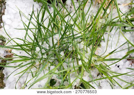 Hail Stones On The Ground, Damaged Grass