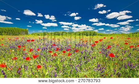 Field Of Bright Red Corn Poppy Flowers In Summer, Green Grass Meadow And Purple Wild Flowers Under B