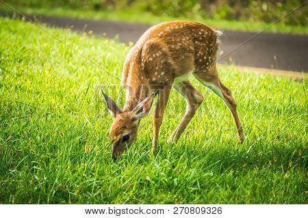 Wild Bembi Deer Fawn Feeding On A Meadow In Mountains