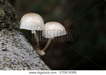 Two Porcelain Fungi Growing On The Bark Of A Tree