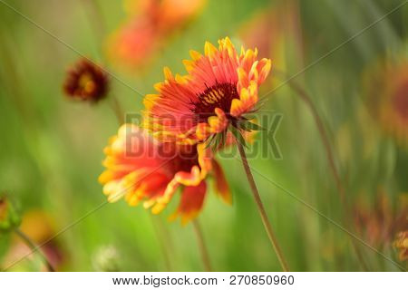 Picturesque Meadow. Wild Flowers On Summer Field. Flowers In Blossom. Blossoming Flowers On Nature L