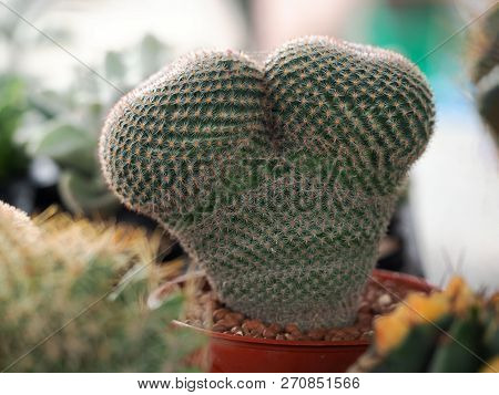 Closed Up Green Cactus In Heart Shape Plant In Brown Pot.