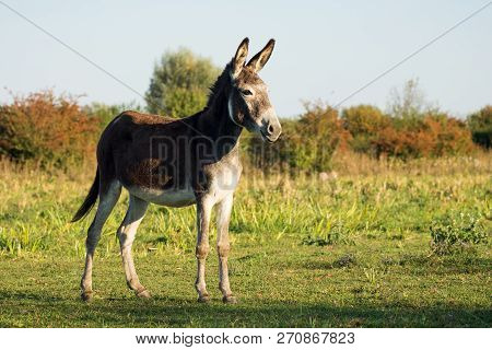 One Donkey Farm Animal Is Standing On Meadow Or Pastureland In Nature.