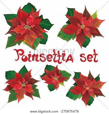 Red Poinsettia Vector Flowers Set. Christmas Symbols Illustration. Pulcherrima Blooming Plant.tradit