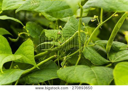 Flowers Of Green Bean On A Bush. French Beans Growing On The Field. Plants Of Flowering String Beans