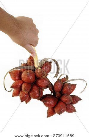 Salacca Wallichiana Fruit In Hand On Background