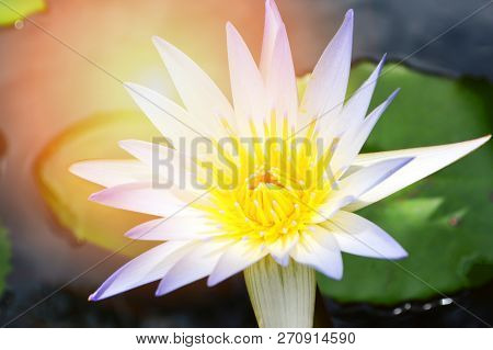 Water Lily Flower In Water Pond / Close Up Of Beautiful White Flower Water Lily Or White Lotus In Po