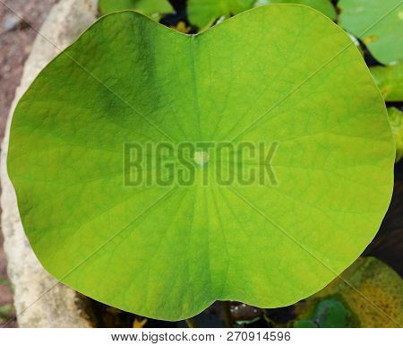 Lotus Leaf In Pond Water / Close Up Of Green Leaf Lily Water Or Lotus Pond In The Garden