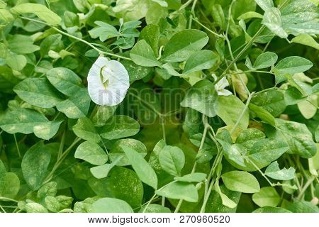 Asian Pigeonwings Or Clitoria Ternatea White Flower Green Leaves Background