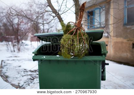 End Of Christmas. Used And Abandoned Cutted Fir Tree In Garbage Bin Waits For Collection By By Garba