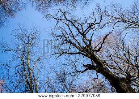 Oak Tree Branches With No Leaves Against Blue Sky. Silhouette Of Oak Tree Branches