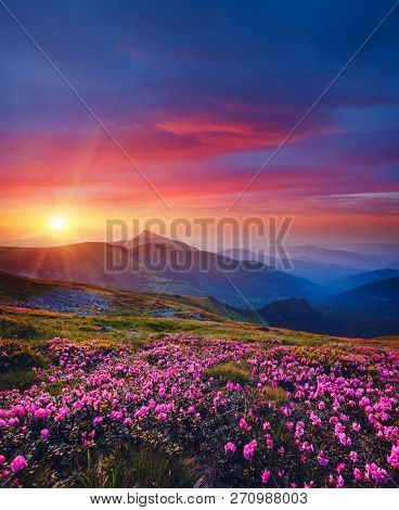 Charming pink flower rhododendrons at magical sunset. Location Carpathian mountain, Ukraine, Europe. Beautiful nature landscape. Scenic image of idyllic summer wallpaper. Discover the beauty of earth.