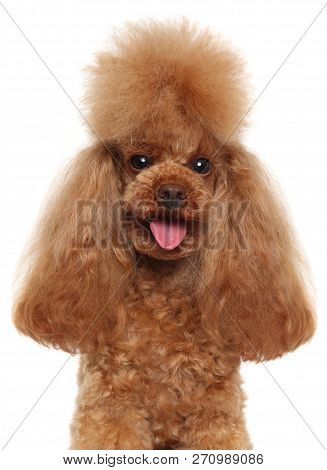 Portrait Of A Funny Red Toy Poodle Isolated On White Background. Animal Themes